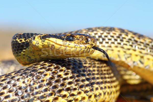 Węża głowie Rumunia usta Zdjęcia stock © taviphoto