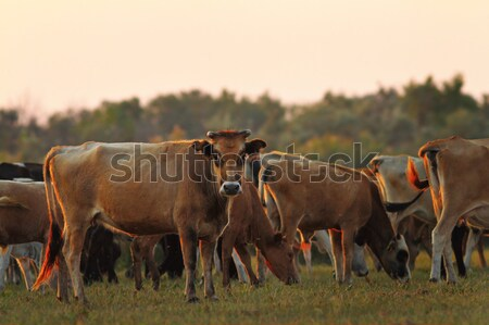 feral cows in Danube Delta Stock photo © taviphoto