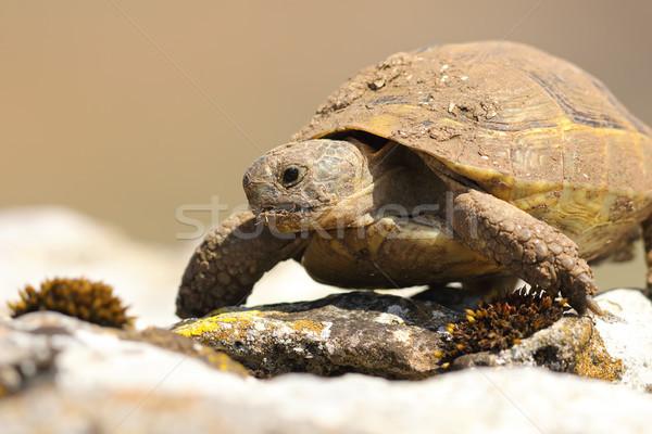 portrait of wild greek turtoise Stock photo © taviphoto
