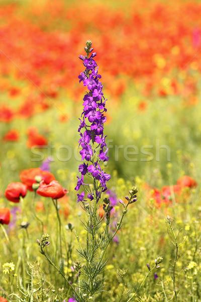 Mor kır çiçeği haşhaş alan büyüyen çiçekler Stok fotoğraf © taviphoto