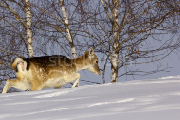fallow deer doe in winter Stock photo © taviphoto