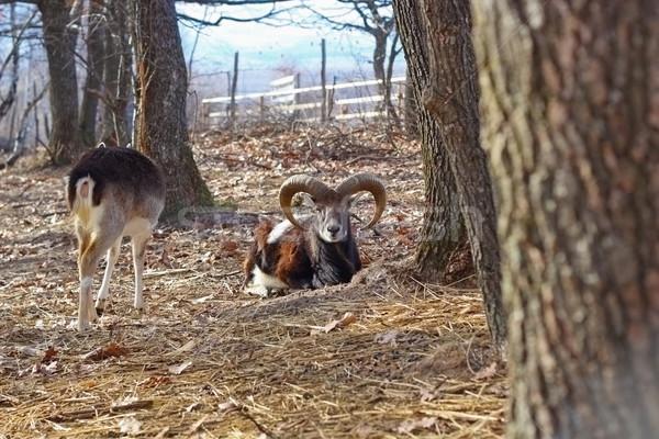 moufflon ram in an enclosure Stock photo © taviphoto