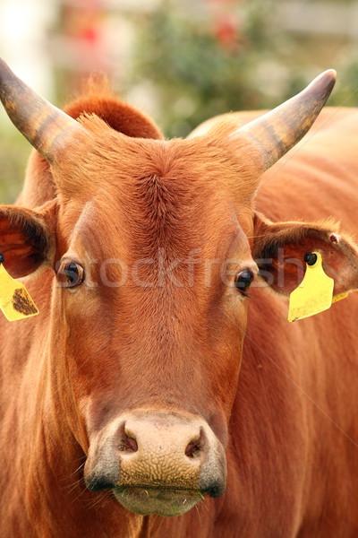 zebu cow head Stock photo © taviphoto