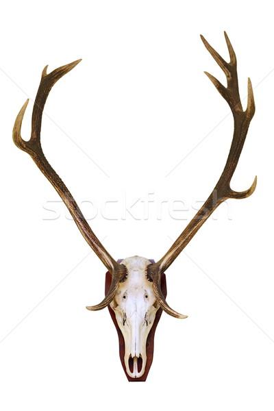 赤 鹿 バック 頭蓋骨 狩猟 トロフィー ストックフォト © taviphoto