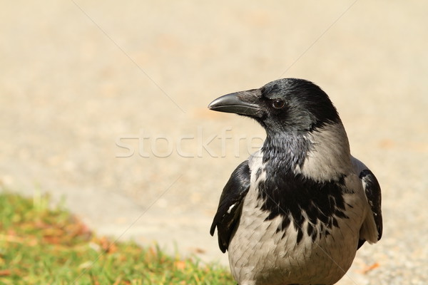 hooded crow on a park alley Stock photo © taviphoto