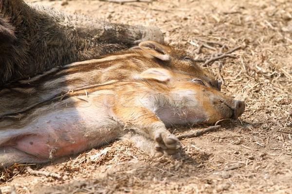 wild boar babies Stock photo © taviphoto
