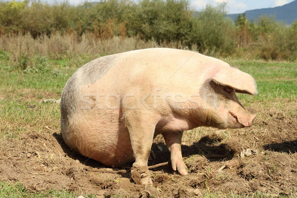 huge sow standing on meadow near the farm Stock photo © taviphoto