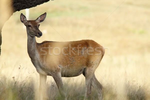 female red deer in a glade Stock photo © taviphoto