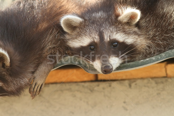 raccoon on the zoo Stock photo © taviphoto