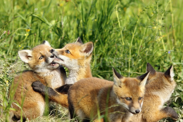 Cute Fox jouer européenne rouge Photo stock © taviphoto
