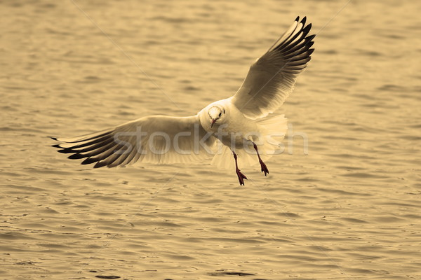 black headed gull in flight  Stock photo © taviphoto