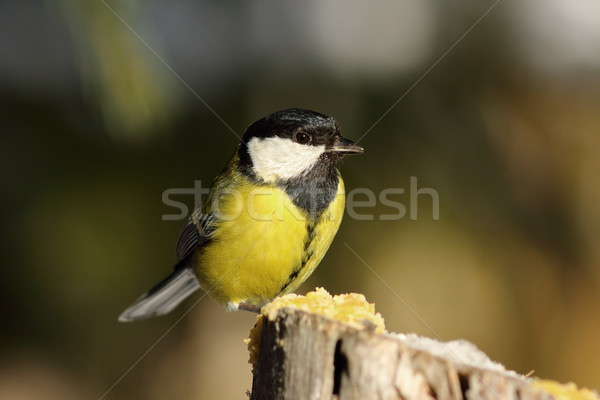 great tit perched on top of wooden stump Stock photo © taviphoto