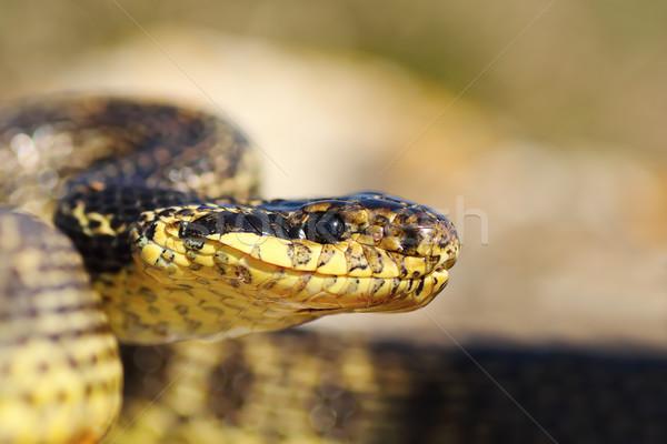 змеи голову природы красивой среде Сток-фото © taviphoto