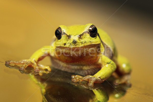 Stock photo: close up of a curious green tree frog
