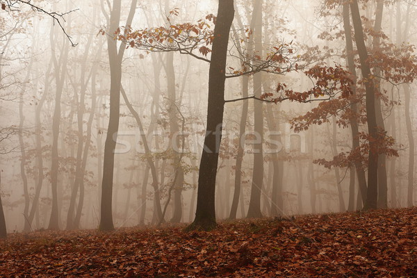 fog through the forest Stock photo © taviphoto