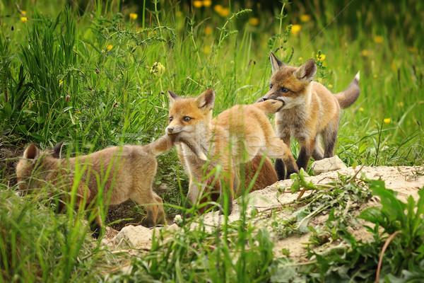 Játékos piros róka fiatal állatok játszik Stock fotó © taviphoto