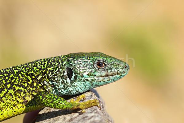Erkek yeşil kertenkele doku güzellik Stok fotoğraf © taviphoto