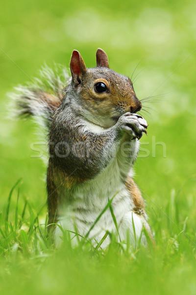 Szürke mókus park áll zöld gyep Stock fotó © taviphoto