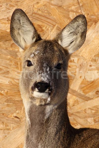 Női ikra szarvas park félénk állat Stock fotó © taviphoto