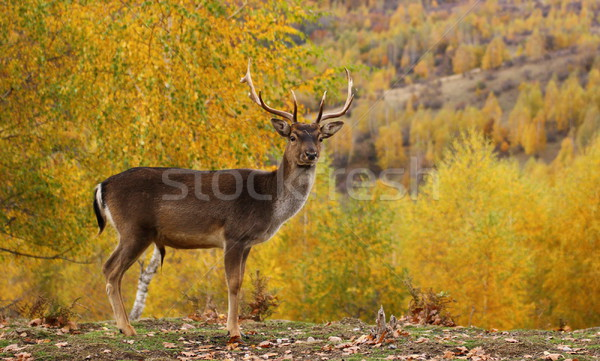 fallow deer buck in a glade Stock photo © taviphoto