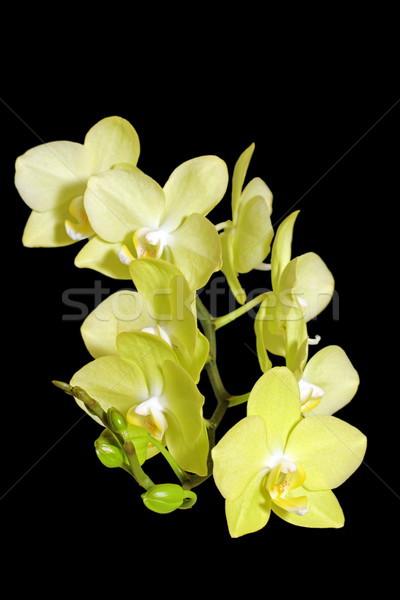 Amarelo orquídea escuro pormenor florescer fundo Foto stock © taviphoto