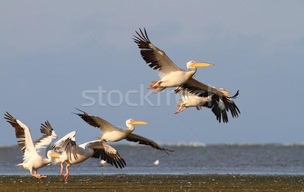 group of pelicans taking flight Stock photo © taviphoto