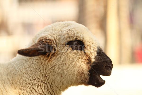funny lamb Stock photo © taviphoto