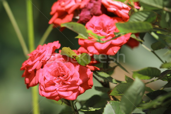 pink roses in the garden Stock photo © taviphoto