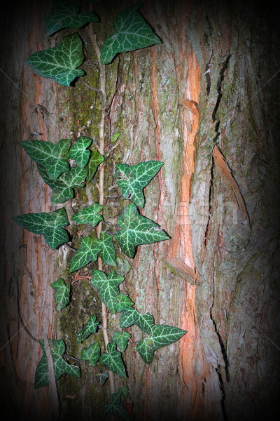 wild ivy growing on tree trunk Stock photo © taviphoto