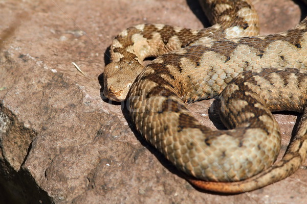 large adult vipera ammodytes Stock photo © taviphoto