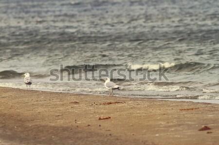 sea shore and herring gulls Stock photo © taviphoto