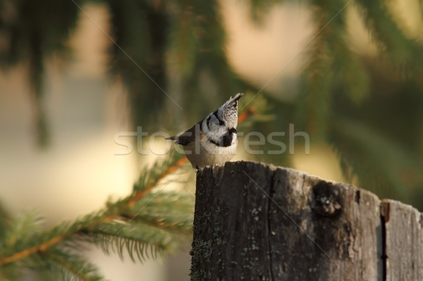 crested tit on a wooden stump Stock photo © taviphoto
