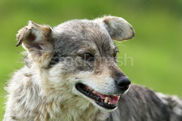 Szary psa portret zielone na zewnątrz skupić Zdjęcia stock © taviphoto