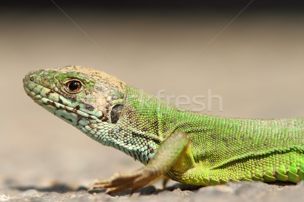 green lizard portrait Stock photo © taviphoto