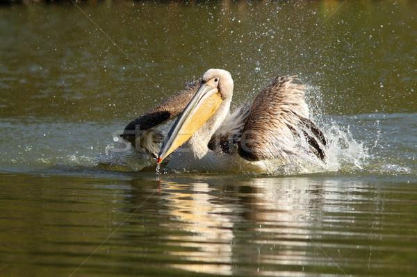 closeup of great pelican splashing water Stock photo © taviphoto