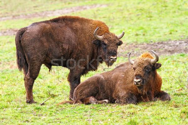 european bisons on green grass Stock photo © taviphoto