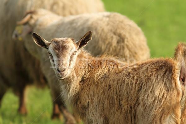 Ziege Herde weiß Bauernhof Natur Käse Stock foto © taviphoto