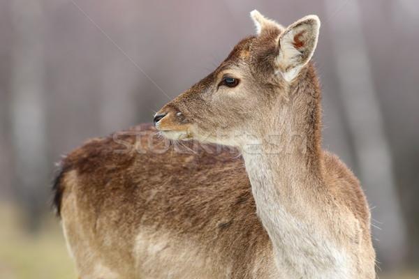 fallow deer calf close-up Stock photo © taviphoto