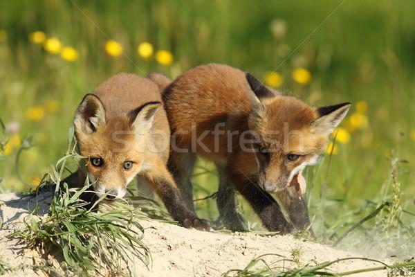 два Fox братья играет семьи ребенка Сток-фото © taviphoto