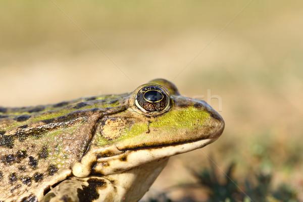 portrait of marsh frog Stock photo © taviphoto