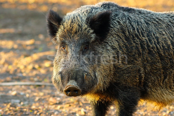 close up of big wild boar Stock photo © taviphoto