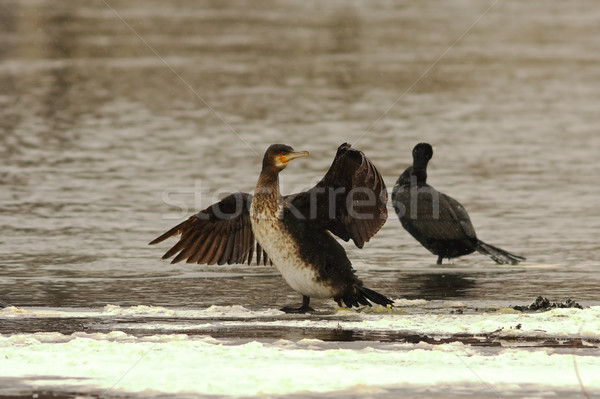 great cormorant on icy river Stock photo © taviphoto