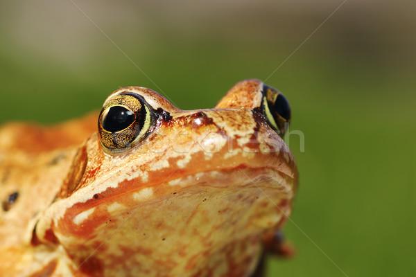 Makro Porträt Frosch grünen heraus Stock foto © taviphoto