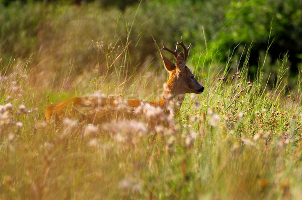 roebuck in a glade Stock photo © taviphoto