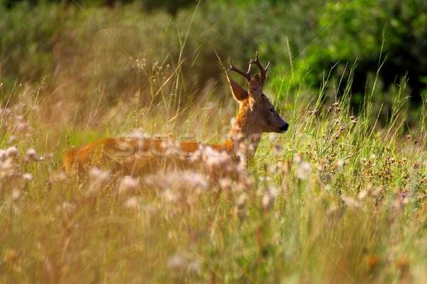 Glade herten reebok lopen groot Stockfoto © taviphoto