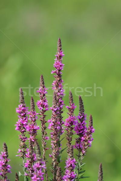 Roxo flores silvestres crescente verde verão campo Foto stock © taviphoto