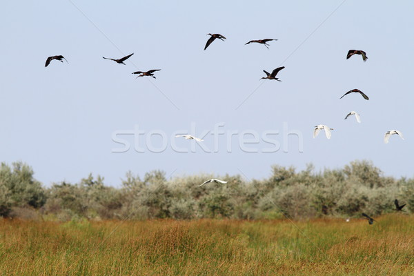Sereg vad madarak Duna delta fehér Stock fotó © taviphoto