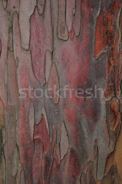 taxus baccata bark Stock photo © taviphoto