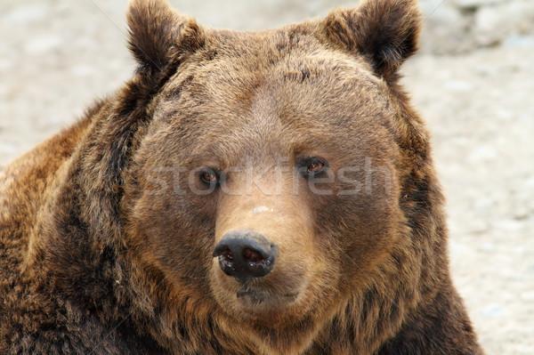 big brown bear portrait Stock photo © taviphoto