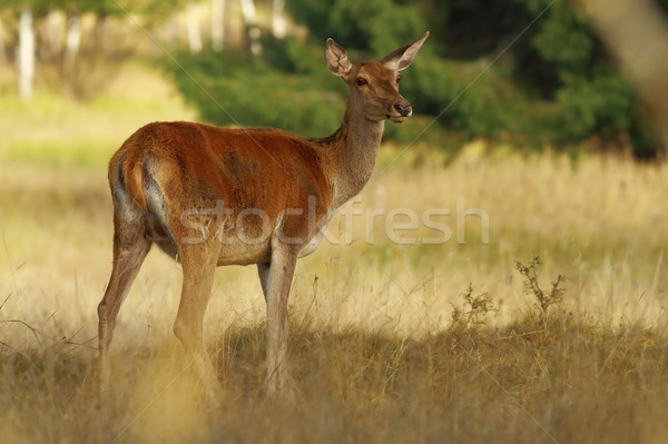 Stock photo: red deer doe looking at the camera  in a clearing